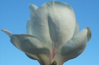 magnolia  picture x white giant