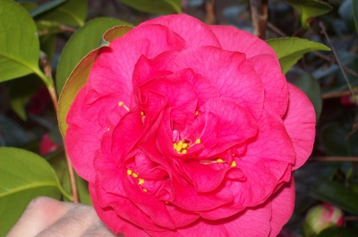 camelia japonica tomorrow